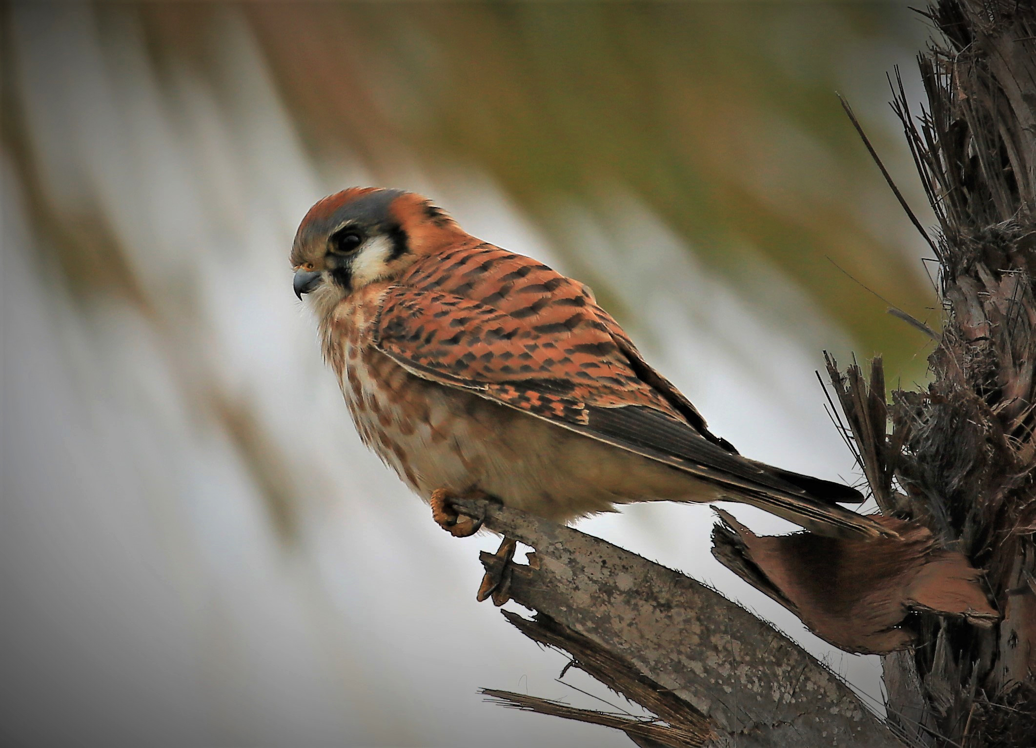 A female American Kestrel