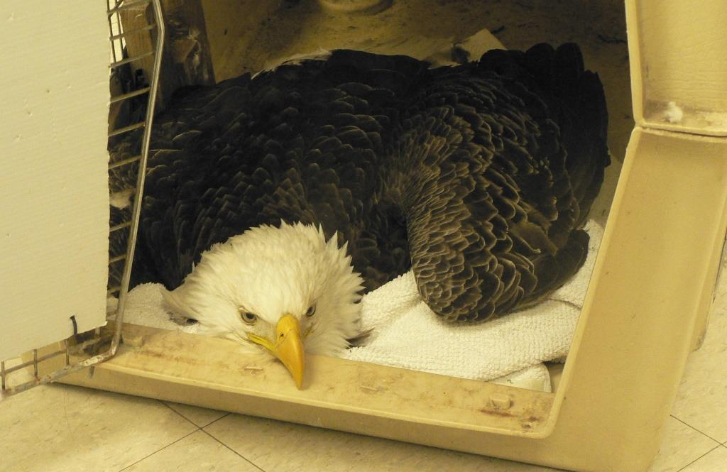 bald eagle laying in a crate
