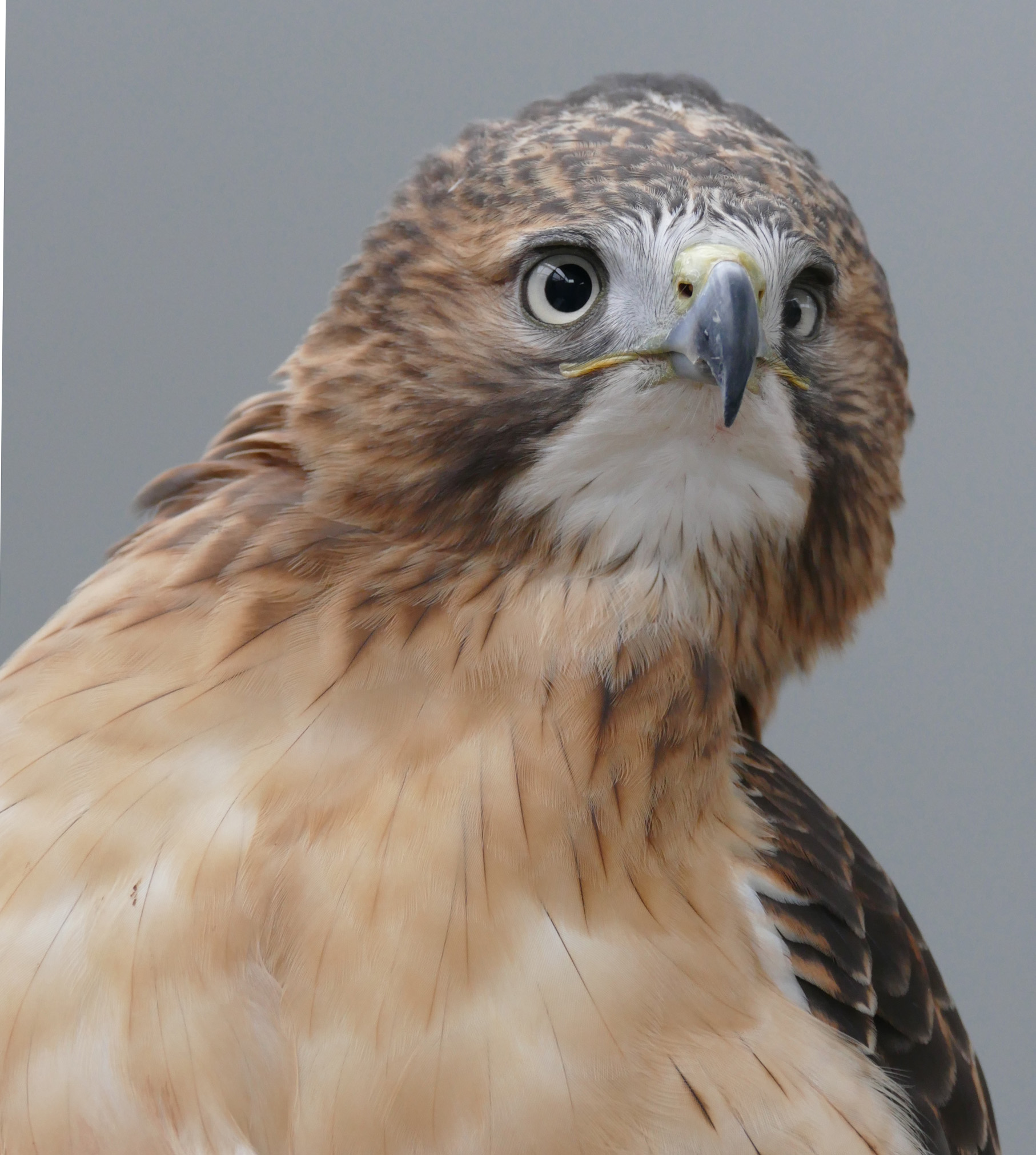 Luta, a red-tailed hawk