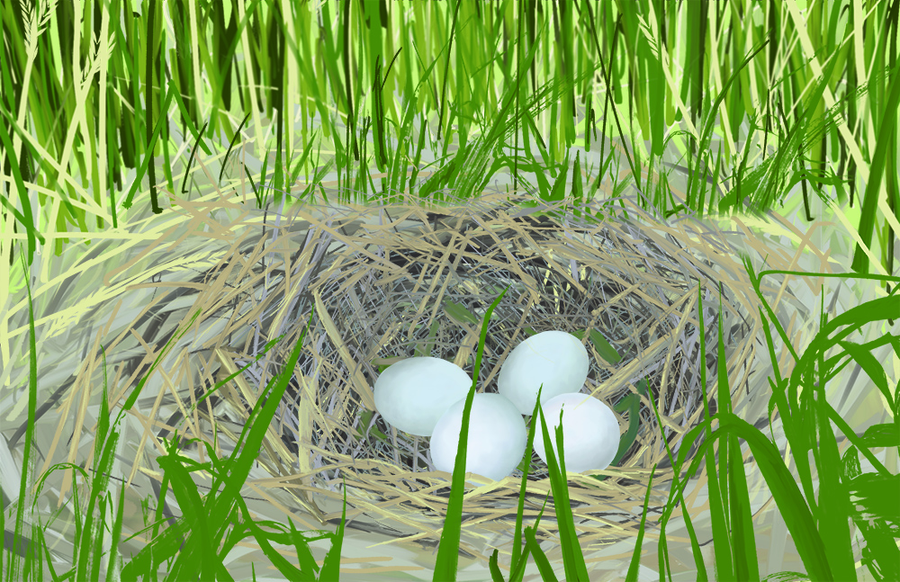 Northern harrier nest illustration