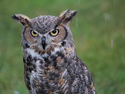 Lois, a great horned owl, in the rain