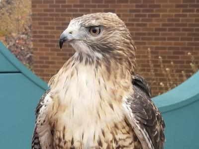 Scout, a red-tailed hawk