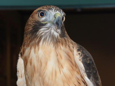 Alula, the red-tailed hawk