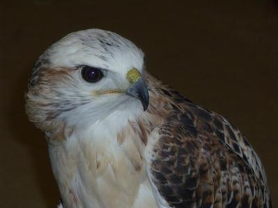 Casper, a red-tailed hawk
