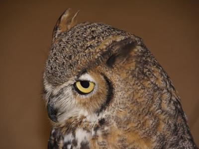 Lois, a great horned owl