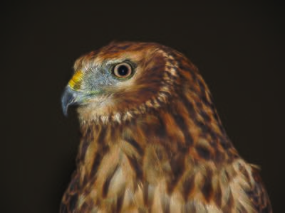 Meadow, a northern harrier