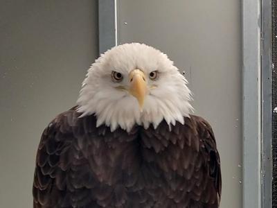 Pi, a bald eagle