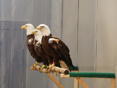 Three bald eagles on a perch together