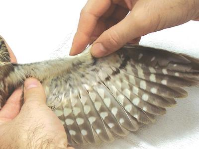 Raptor wing being examined