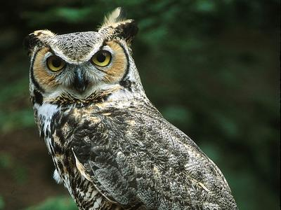 Ricke, a great horned owl