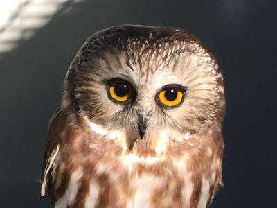 Spruce, a northern saw-whet owl