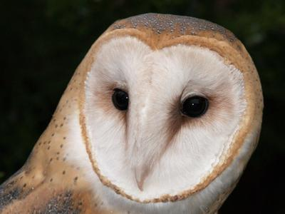 Whisper, a barn owl
