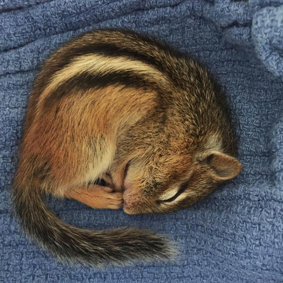 A chipmunk curled up and sleeping on a soft cloth.