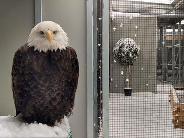 Bald eagle fluffed up in the snow