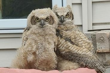 two young great horned owls in front of a home