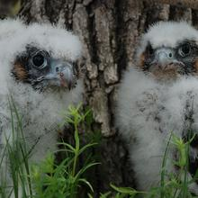 A closeup of two young raptors sitting in tall grass next to a tree