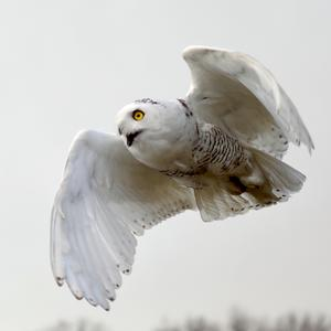 Snowy owl in flight after release