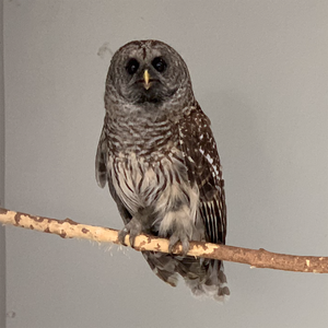 A rescued Barred Owl