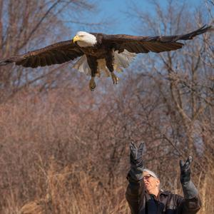 Terry H releases an adult bald eagle