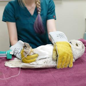 A snowy owl being cared for at the clinic