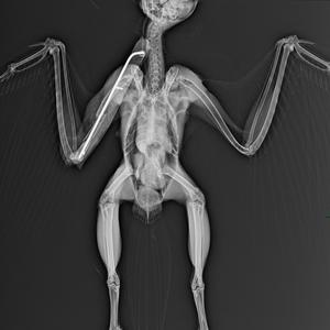 Barred owl xray